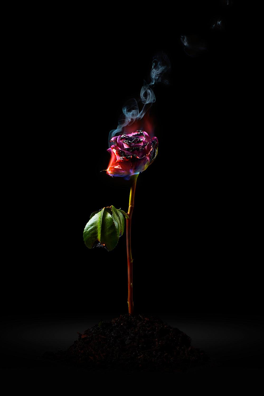 burning rose fine art photography shot by camilo mateus